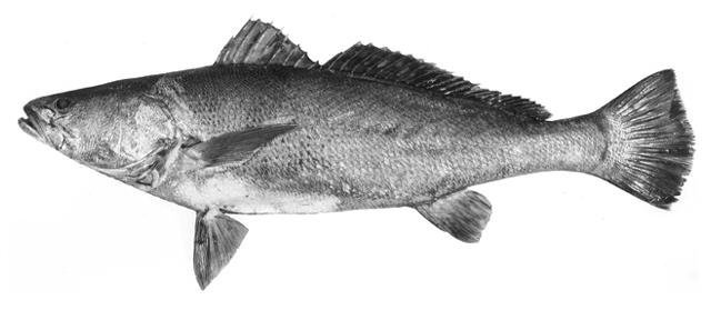 Totoaba Macdonaldi