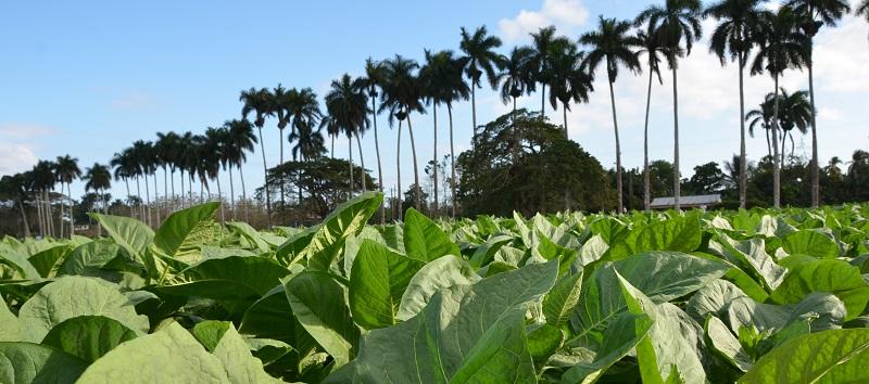 Plantaciones de Cohiba