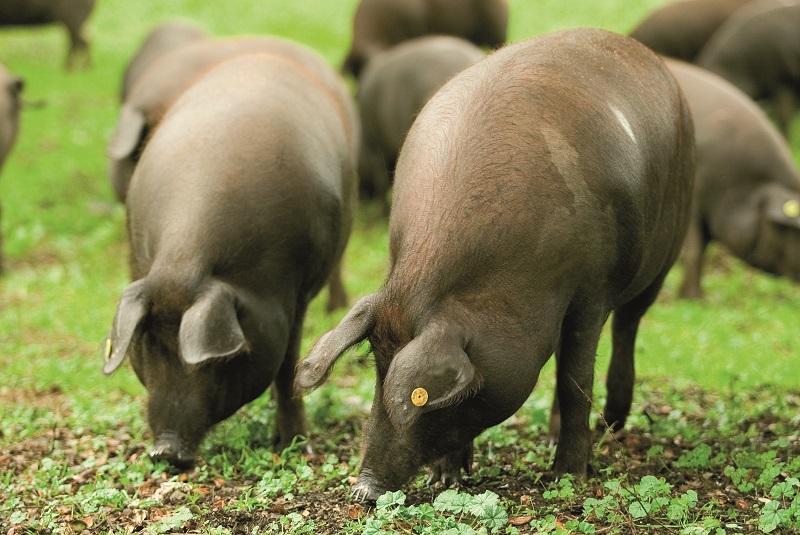 cerdos-en-la-dehesa-foto-de-sierra-sevilla